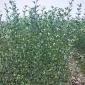 直销优质枳壳苗果树苗木批发湖南枳壳苗药用枳壳 嫁接枳壳苗